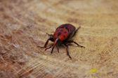 Beetle sitting on the wood — Stock Photo