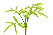 Wierzchołek drzewa oliwne — Zdjęcie stockowe