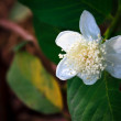 Stock Photo: Guavflower