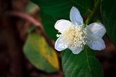 Guava flower — Stock Photo