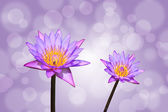 Lotus or water lily flower — Stock Photo