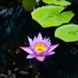 Stock Photo: Decay Lotus or water lily flower