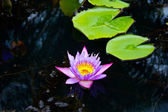 Decay Lotus or water lily flower — Stock Photo