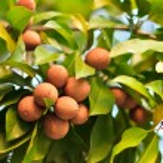 Sapodilla fruit on the tree — Stock Photo