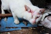 Injured white cat — Stock Photo