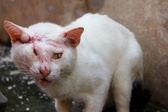 Injured white cat — Stok fotoğraf