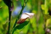 Uma crisálida de borboleta — Foto Stock