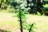 Olive treetop — Stock Photo