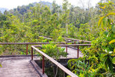 Bridge through the mangrove reforestation — Stock Photo