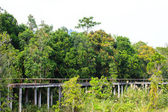 Bridge through the mangrove reforestation — Foto de Stock