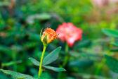 Orange beautiful rose — Stock Photo