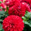 Beautiful Red Dahlia — Stock Photo #43281839