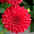 Beautiful Red Dahlia — Stock Photo