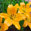 Beautiful flowers of yellow lilies. — Stock Photo