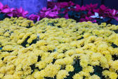 Top view of yellow chrysanthemum — Stockfoto