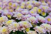 Bright colorful chrysanthemums — Stock Photo