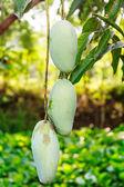 Close up of mangoes — Stock Photo
