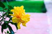 Terry yellow hibiscus — Stock Photo