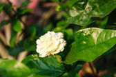 Arabian jasmine — Stock Photo