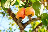 Cashew Tree — Stock Photo