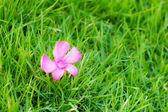 Pink flower on green grass.  — Stok fotoğraf