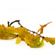 Oak leaves on branch — Stock Photo