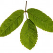 Stock Photo: Rowan leaves