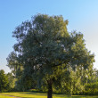Stock Photo: Single willow tree