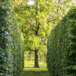Hedge passage to the tree — Stock Photo