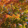 Stock Photo: Crone of autumn maple tree from below