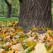 Stock Photo: Linden tree trunk close up