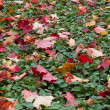 Stock Photo: Fallen maple leaves