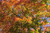 Crone of a autumn maple tree from below — Stock Photo