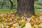 Linden tree trunk close up — Stock Photo