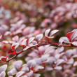 Barberry bush — Stock Photo #13639722