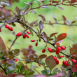 Barberry bush — Stock Photo #13639724