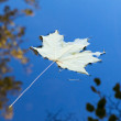 Single maple leaf in the pond — Stock Photo