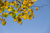 Lime tree branch with leaves — Stock Photo