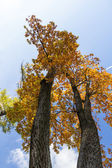Two autumn oaks growing together — Stock Photo