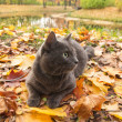 Russian blue cat outdoor — Stock Photo #13833995