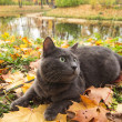 Russian blue cat outdoor — Stockfoto