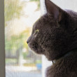 Portrait of russian blue cat — Stock Photo