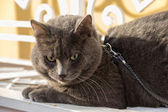 Serious russian blue cat cat in the harness — Stock Photo