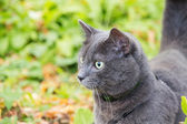 Russian blue cat outdoor — Stock Photo