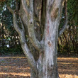 Thuja trunk close up — Stock Photo
