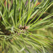 Close up shot of fir branch — Stock Photo