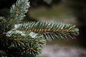 Fir branch close up — Stock Photo
