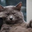 Napping russian blue cat — Stock Photo