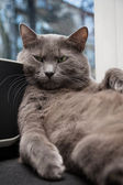 Russian blue cat with tough look — Stock Photo
