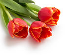Three beautiful tulips — Stock Photo